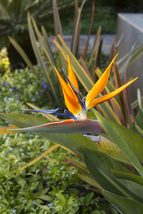 Bird Of Paradise Plant Potted Exotic Orange Flower Strelitzia Reginae Tk... - $49.39