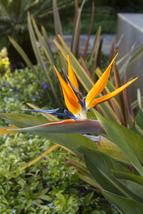 Bird Of Paradise Plant Potted Exotic Orange Flower Strelitzia Reginae Tk... - $49.39