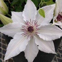 1 Starter Plant of Clematis 'Sparkler' - $91.08