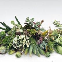 30 or 50 Assorted Succulent & Cactus Cuttings. Great for Terrariums, Mini Garden image 5