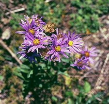 1 Packet Seeds of Aromatic Aster - $33.56