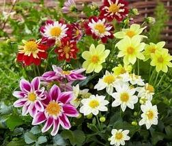 500pcs Excellent Flower Fresh Seeds Dahlia Harlequin #TLM1 - $45.99