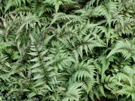 Japanese Painted Fern 5 Plants in 3-1/2 inch Pots - $37.05