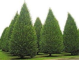 5 Seeds of Carpinus Betulus Upright European Hornbeam Tree - $16.83