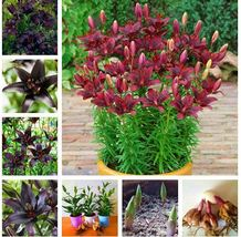 2 Bulbs 100% True Black Lily Bulbs (Not Lily Seeds) Flower Indoor Plant ... - $13.00