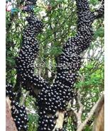 100pcs Edible Good Taste Jabuticaba seeds Healthy Fruit seeds Indoor&out... - $9.74