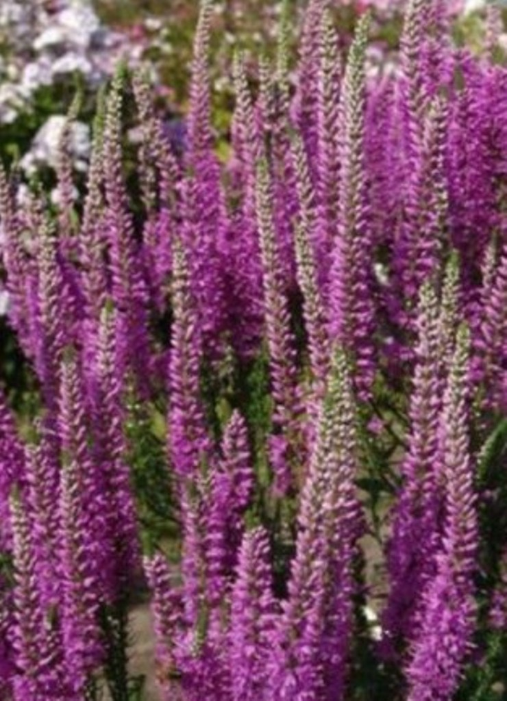 Primary image for 100 Pcs Seeds Speedwell Royal Candle Bright Purple Veronica Flower - RK