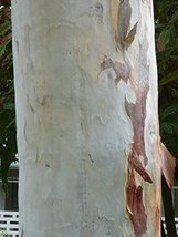 194 pcs/pkt Murray Red Gum Tree Seeds For Planting - $22.77