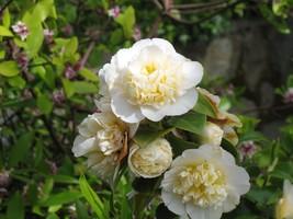 Quart Pot Jurys Yellow Camellia Japonica Live Plant - $43.99