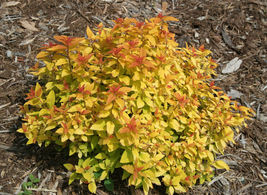 Double Play Candy Corn Spirea image 4