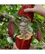 Fresh Cocoa Seeds row coco Theobroma Cocoa bean - $9.89