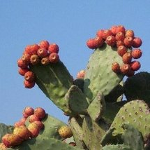 20 Seeds Nopal RED Fruit - $19.96