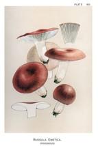 W. Hamilton Gibson: Russula Emtica - Harper Publishers - 1895 - $12.82+