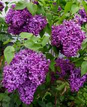 3 Plants Common Lilac Flowering Shrub Established  in 2 Inch Pots - $52.99