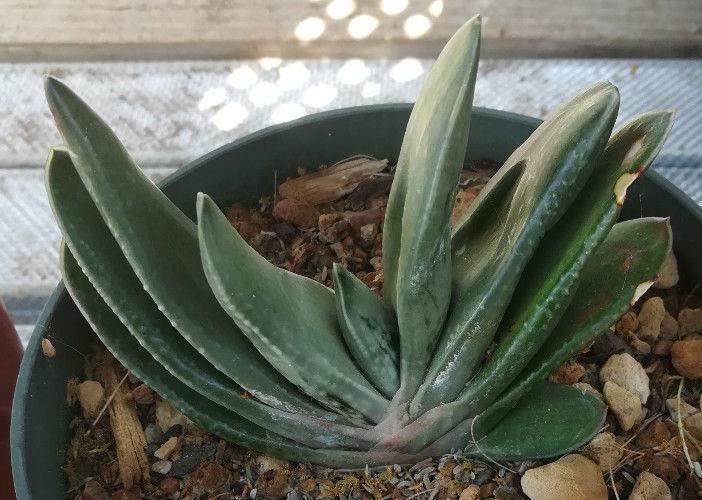 Gasteria Hybrid 67 Nature's Curiousity Shop (NCS) Succulent Plant