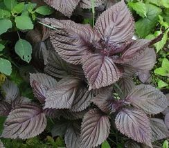 400 seeds Shiso, Perilla, Purple, Japanese Basil, Red Mint seeds - $6.58