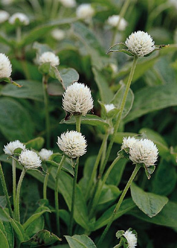Primary image for Gomphrena Globosa Qis Series White Annual Seeds
