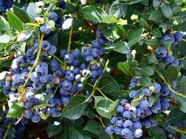 Live Plant - Top Hat Dwarf Blueberry Bushes - Quart Pot - Outdoor Living - $60.99