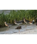 Red Knot, Ruddy Turnstone and Short Billed Dowitcher Photo - Various Sizes - $7.50+
