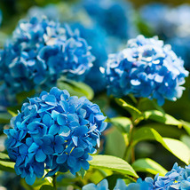 Live Plant Nikko Blue Hydrangea Macrophylla - $52.88