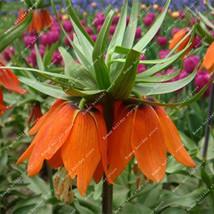 100 Seeds Rare Mix Fritillaria Pure Fritillarias Meleagris Bulbs Potted ... - $4.76