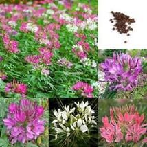 50 Stück Cleome Spinosa Jacq neue Vielzahl Blumensamen ElR8 - $2.00