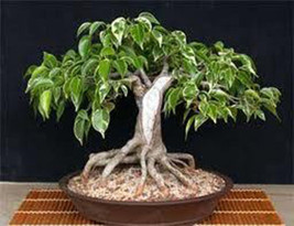 7 Weeping Fig Seeds-1139A - $2.98