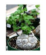 5 Dioscorea Elephantipes - $13.86