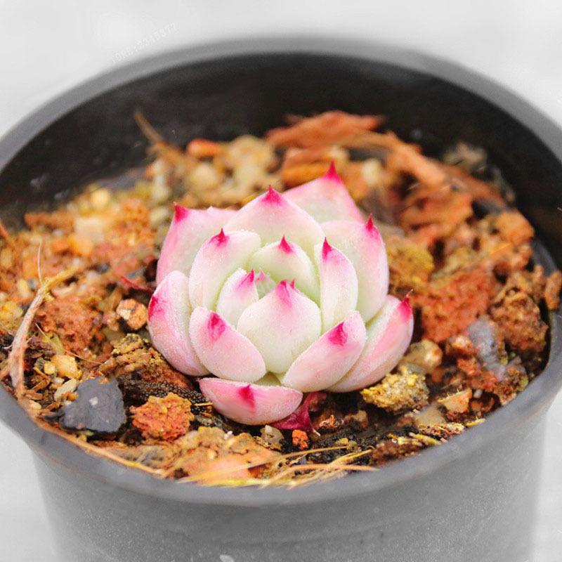 Egrow 100Pcs/Pack Echeveria Succulents Lithops Seeds Home Garden Bonsai Flower S