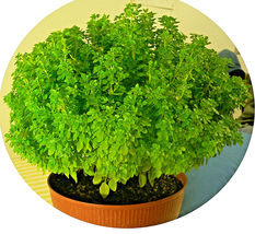 500 Seeds - Dwarf Greek Basil Ocimum Basilicum Fragrant Spicy Small Leaf... - $17.99