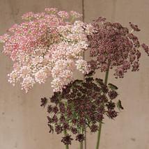 Dara Daucus Seed / Dara Daucus Seed Flower Seeds - $17.00