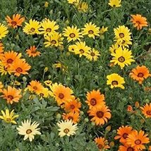 100 African Daisy (Mixed) Seeds - $8.99