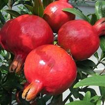 "12 - 18"" Tall Live Plants Pomegranate Fruit Tree Wonderful Punica Granatum - $54.74"