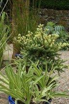1 Starter Plant of Abies Pinsapo 'Horstmann' - Horstmann Dwarf Spanish Fir - $120.78