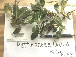 Rattlesnake Orchid 5 root system perennial image 4