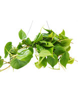 """1 Live Plant - Philodendron Cordatum Heartleaf 6"""" Pot #HPS13 - $57.99"""