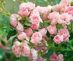 """ 300 seeds Rare Rose Tree Rosa Flower Mini Climbing Rose Tree Mini Colo... - $17.98"