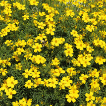 Marigold Bur Bidens Aurea 50 Flower Seeds - $12.98