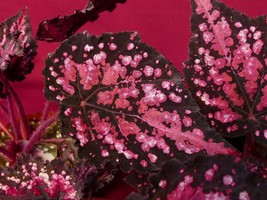 "Begonia Plant Harmony's Reindeer Games NEW 4"" Pot Rex - $9.95"