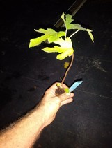 """cold hardy not dormant Ficus """"Celeste"""" Fig Tree Outdoor Living free shipping - $45.99"""