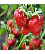 10 Non GMO Eversweet Everbearing Strawberry Plants ORGANIC Super Sweet Bare Root - $24.99