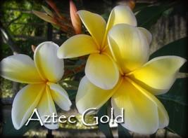 PSA#203 Rare Exotic 2 tip *Aztec Gold* Plumeria Frangipani cutting + Fre... - $18.95