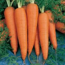 300 Danvers Half Long Carrot Seeds Heirloom 2019 (Non-Gmo Heirloom Organic Seed) - $5.92