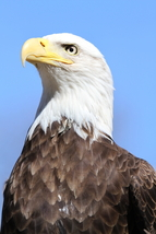 Bald Eagle 13 x 19 Unmatted Photograph - $35.00