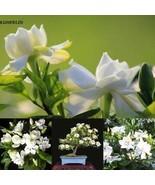 10 stücke Weiß Jasmin Samen Aromatische Pflanze Chinesische Blumen KML8 - $2.00