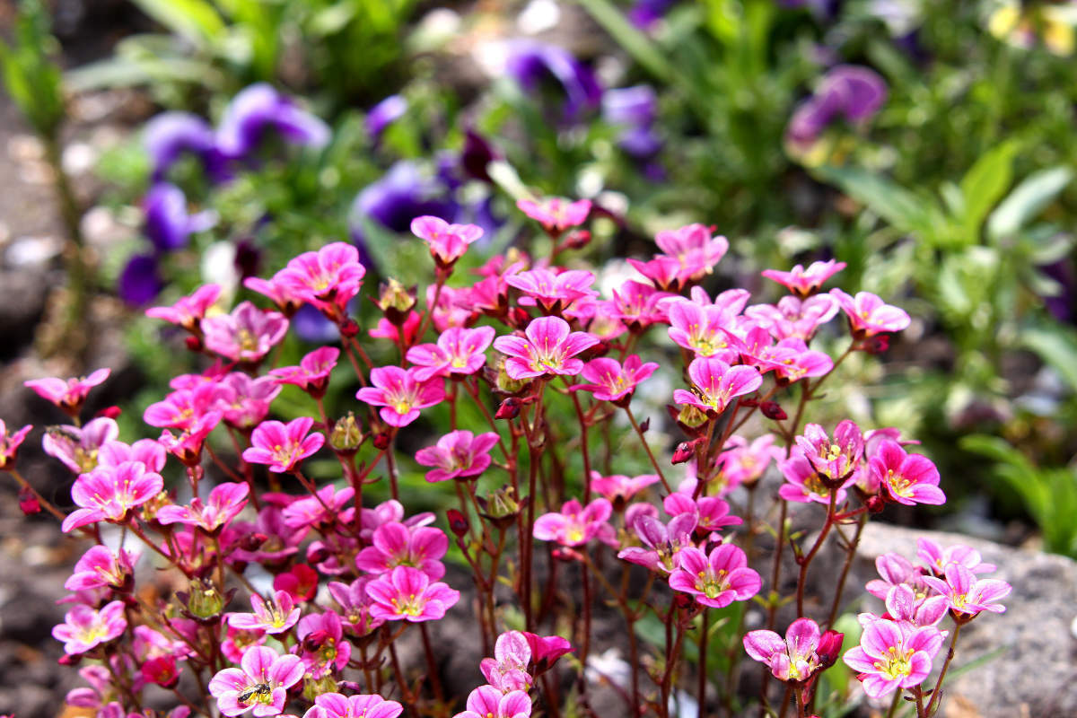 Primary image for SHIPPED FROM US 100 Rose Robe Saxifraga Mossy Rockfoil Flower Seeds, SB01