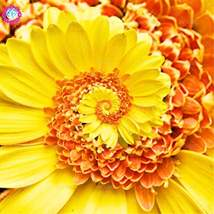 30pcs/bag Daisy Rare flower Perennial indoor Potted yellow - $2.99