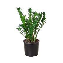 """1 Live Plant - Zamioculcas Zamiifolia 'ZZ 10"""" Pot #HPS13 - $149.99"""