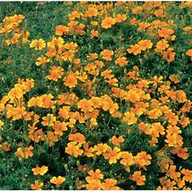 Tangerine Gem Marigold Seeds / Marigold Flower Seeds - $21.00
