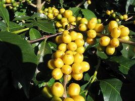 SHIP FROM US 15 ARABICA COFFEE Tree Shrub Seeds - Grow your own coffee SBR4 - $12.00